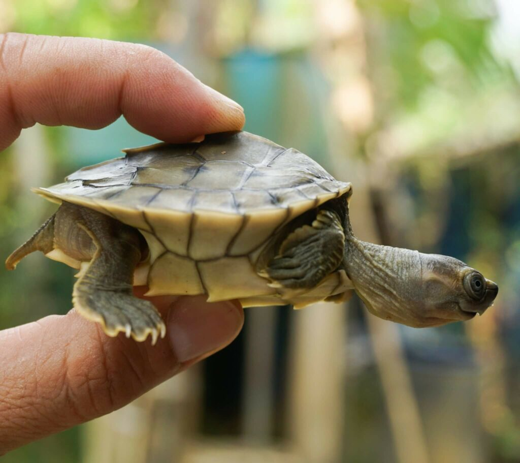 Burmese roofed turtle saved from extinction