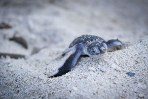Turtle Island, Borneo