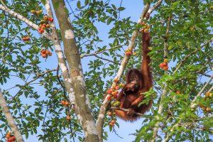 Kinabatangan, Borneo