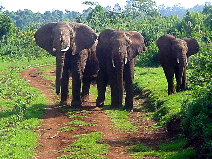 Elephants in Aberdares