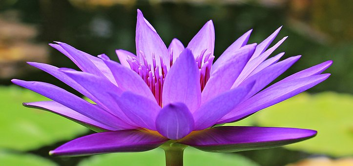 water-lily-1585178__340