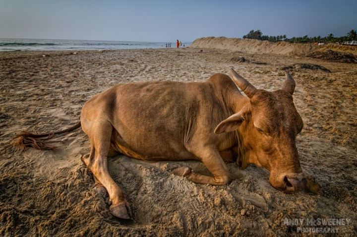A sleeping cow on the beach in Gokarna, South-India