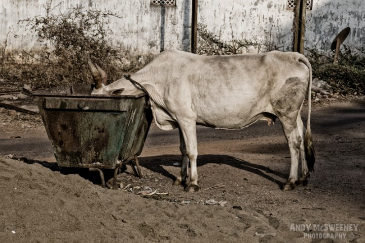 A white cow finding her dinner in a garbage container in the streets of South-India