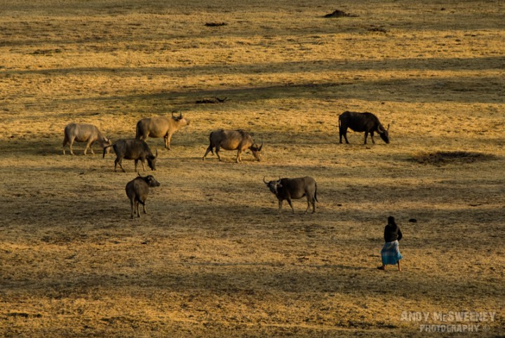 A grass field with a woman herder and her buffaloes in South-India