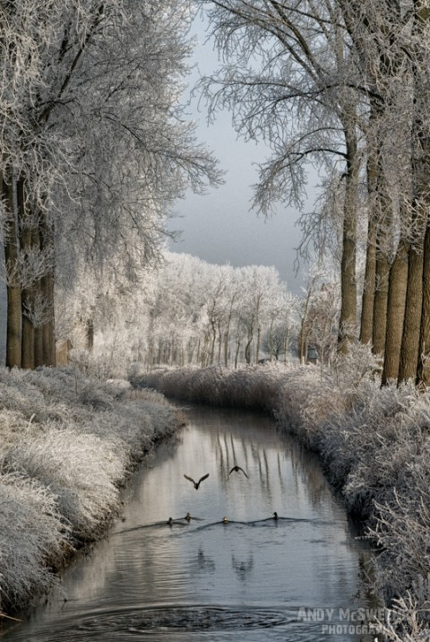 Landscape of flying ducks and canals and trees covered in frost during winter in Brugge, Belgium