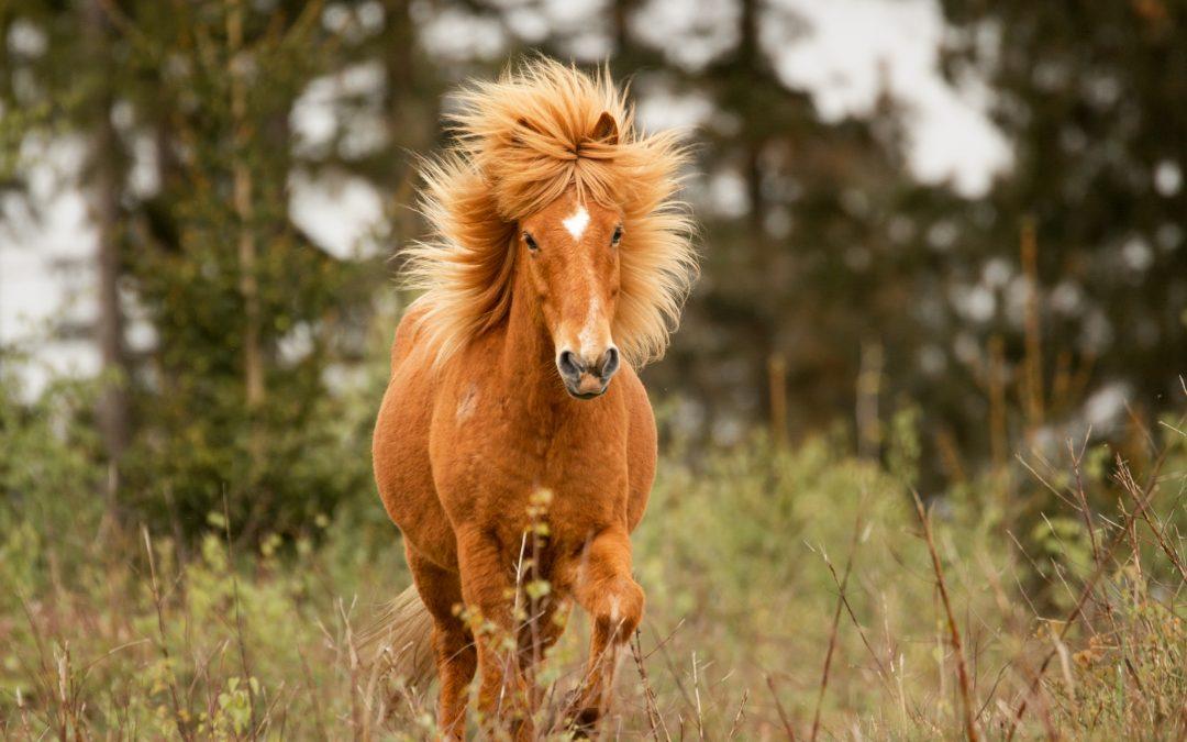 """Jeg mødte de """"vilde"""" heste i Gribskov"""