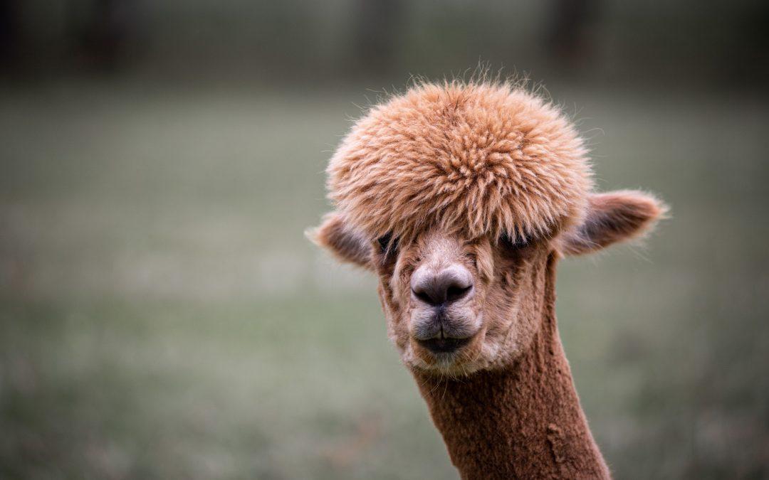 Et besøg på en Alpaca farm og overnatning med Pintrip