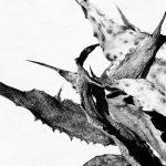 Ihoptorkade agaveblad med skarpa klor.