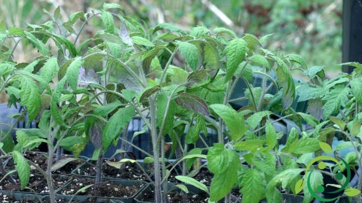 Insetticida naturale a base di pomodoro