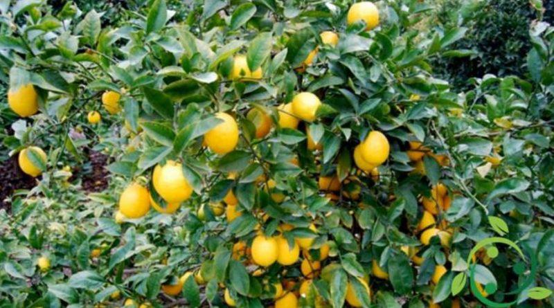 Come coltivare il limone