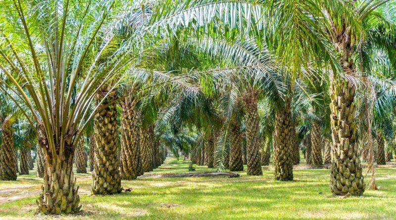 Olio di Palma Insostenibile