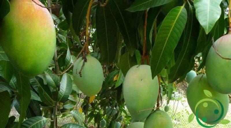 Come coltivare il mango in maniera biologica