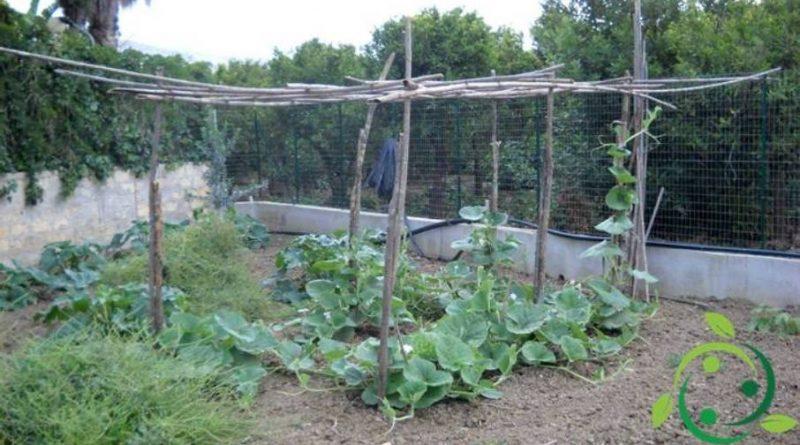 Come coltivare la zucchina siciliana