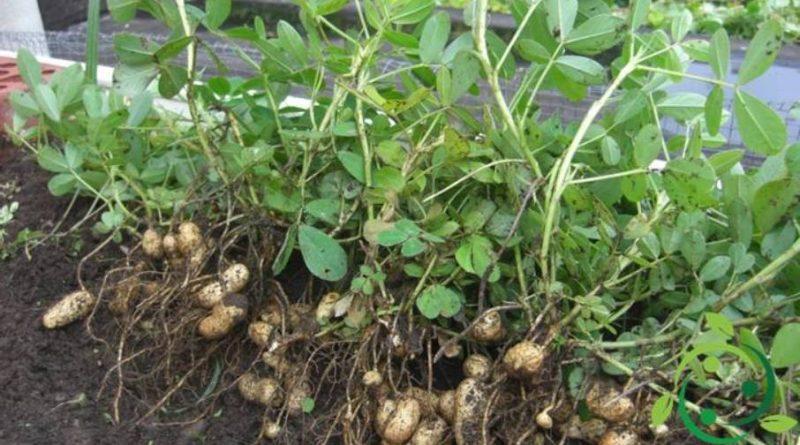 Come coltivare l'arachide in maniera biologica