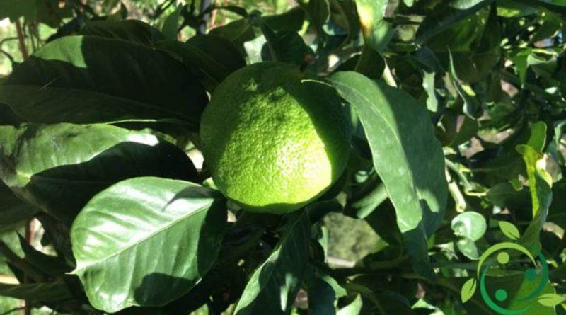 Come coltivare il bergamotto in maniera biologica
