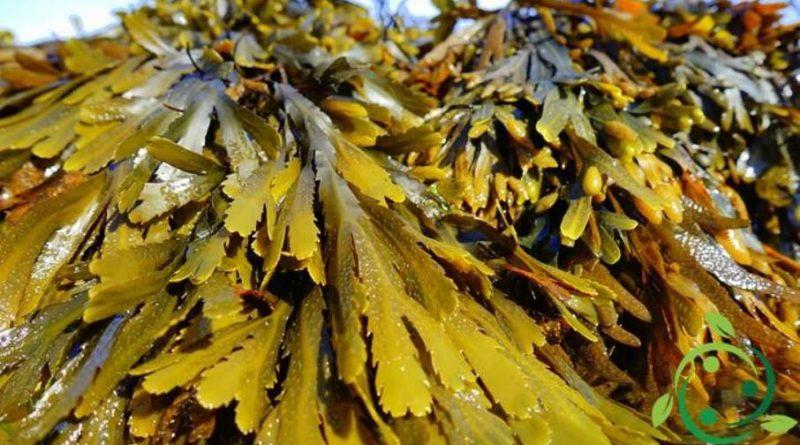 Uso delle Alghe in agricoltura biologica