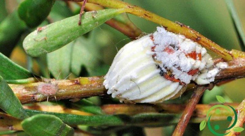 Come combattere Icerya purchasi in maniera biologica