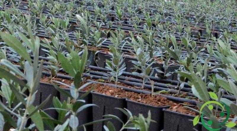Come propagare l'olivo per talea