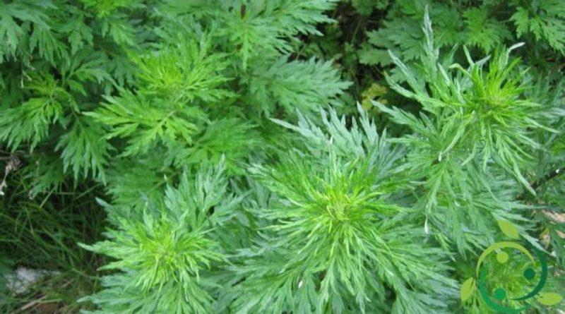 Come coltivare l'Artemisia comune