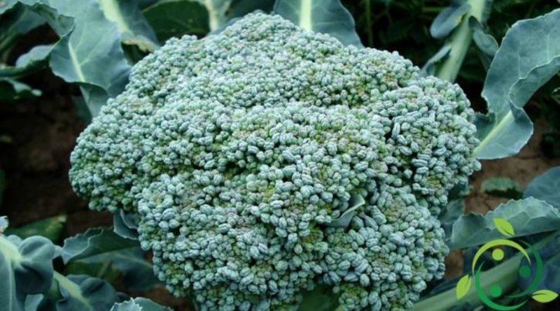 Come coltivare i broccoli in maniera biologica