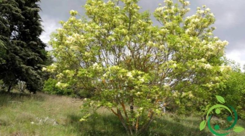 Come coltivare l'albero della manna