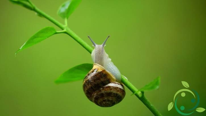 Uso della cenere contro limacce e chiocciole