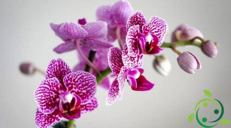 Come coltivare le Orchidee in casa