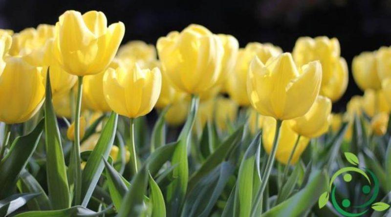 Come coltivare i tulipani