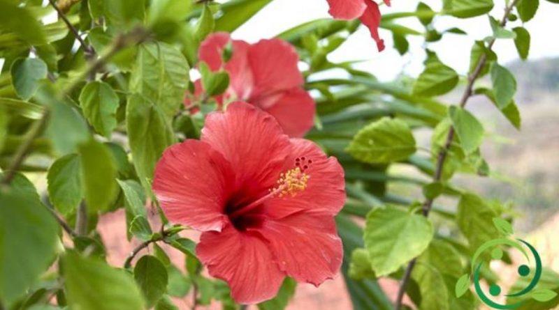 Come coltivare l' Hibiscus