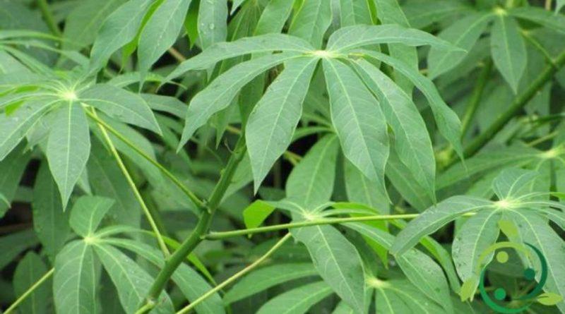 Come coltivare la manioca