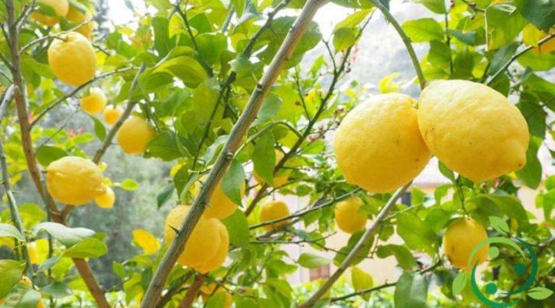 Come potare il limone
