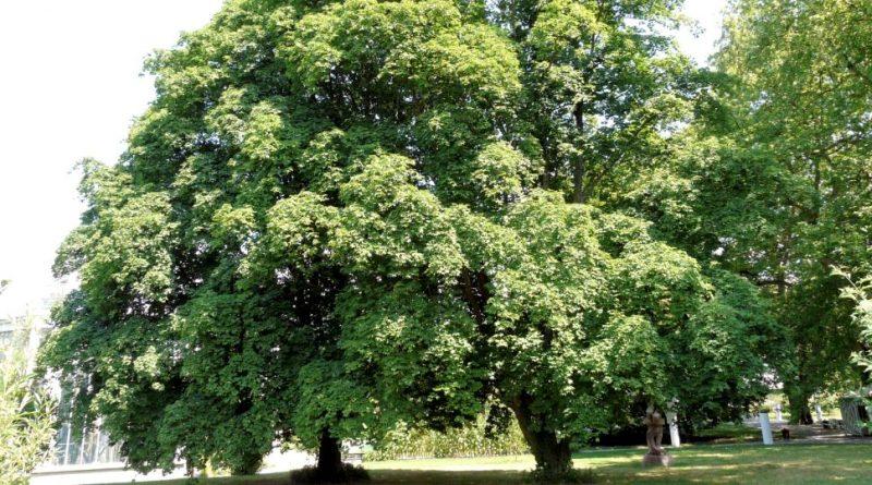 Acer cappadocicum lobelii