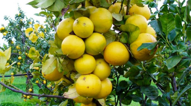 Citrus × bergamia