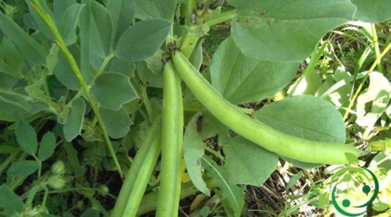 Come coltivare le fave in maniera biologica