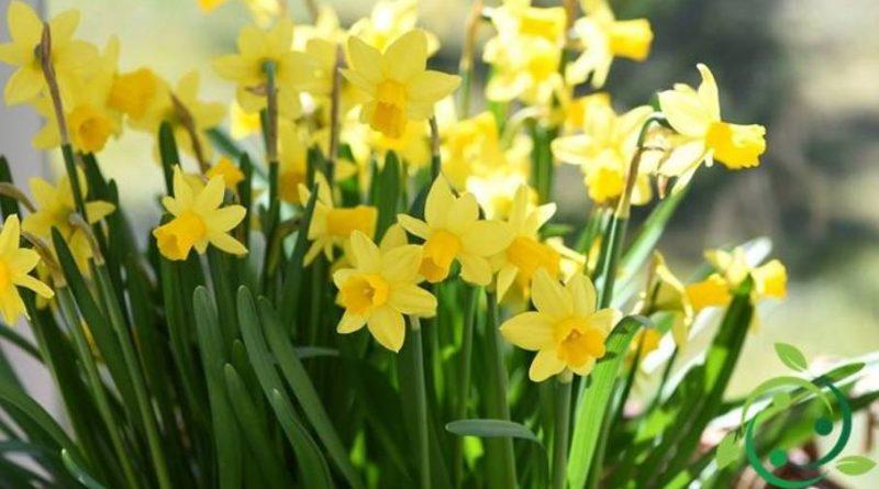 Come coltivare il Narciso