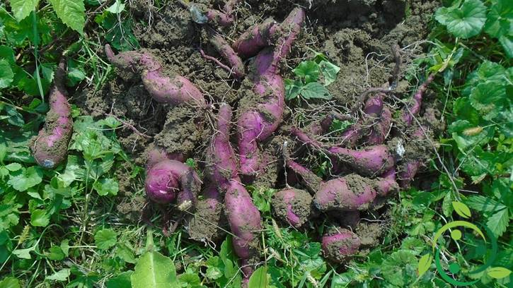 Come coltivare la batata