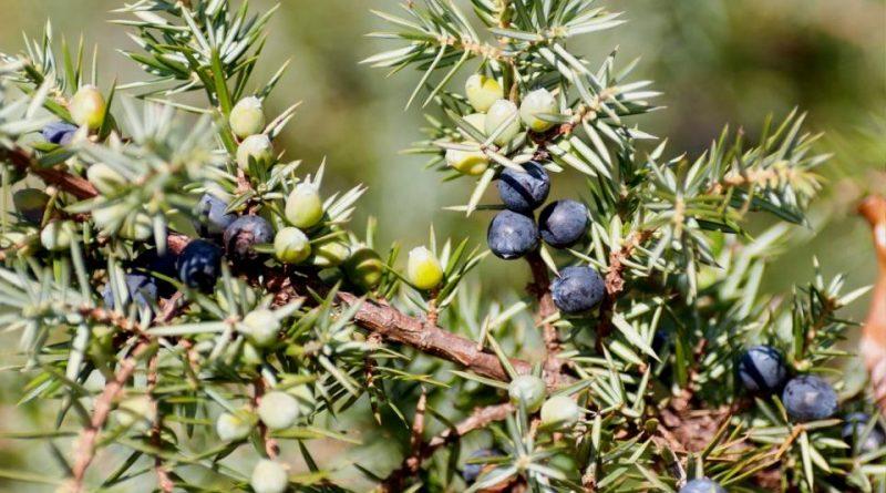 Juniperus communis