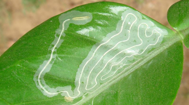 Phyllocnistis citrella