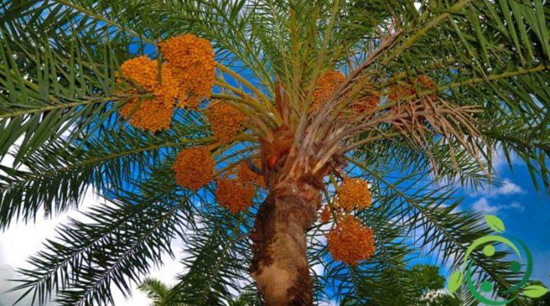 Come coltivare la Palma da datteri