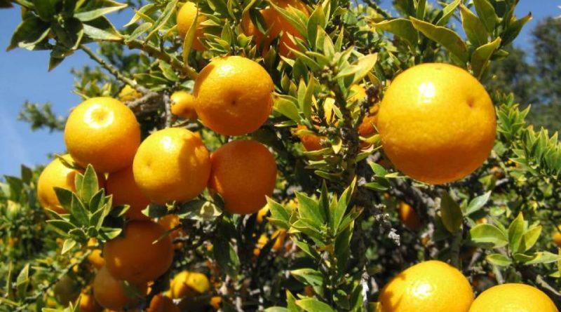 Citrus × myrtifolia