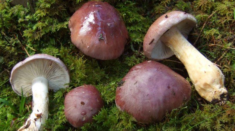 Cortinarius cumatilis