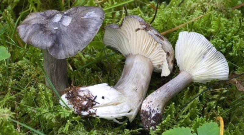 Hygrophorus atramentosus