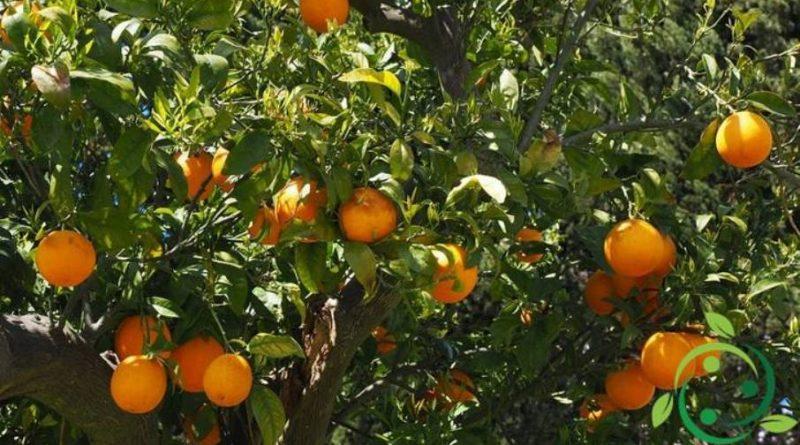 Come potare l'Arancio
