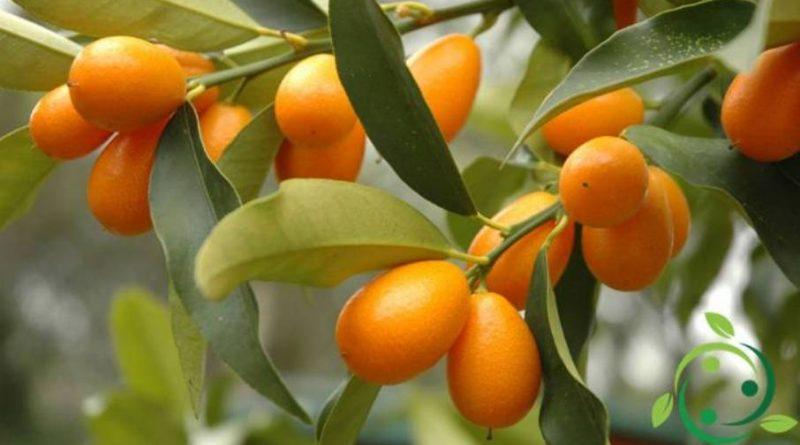 Come potare il Kumquat
