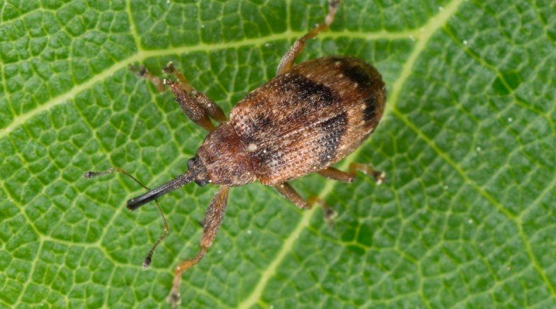 Anthonomus pomorum