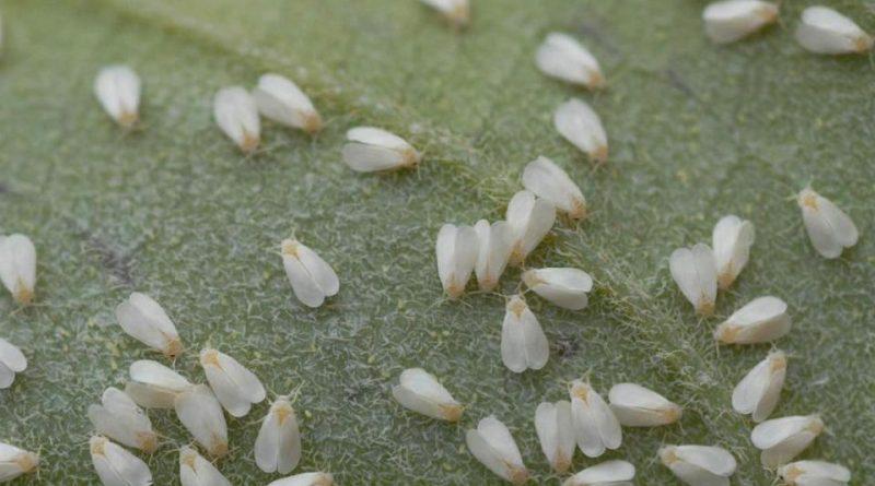 Dialeurodes citri