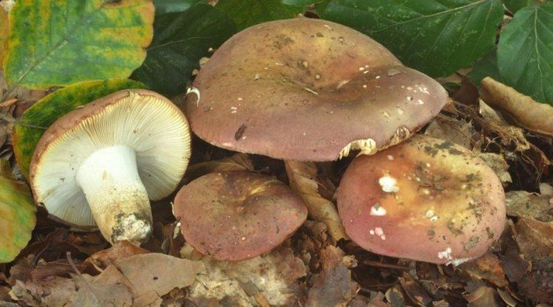 Russula faginea