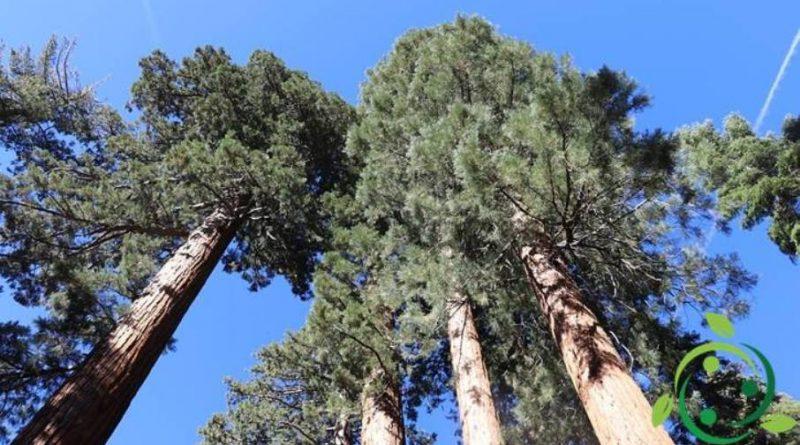 Come coltivare la Sequoia