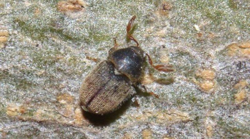 Phloeotribus scarabaeoides