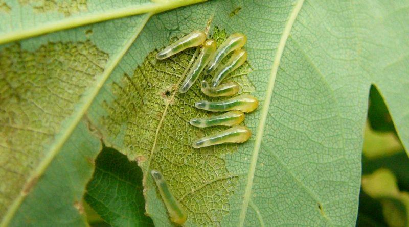 Caliroa varipes